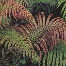 Kiokio (Parablechnum novae-zelandiae)