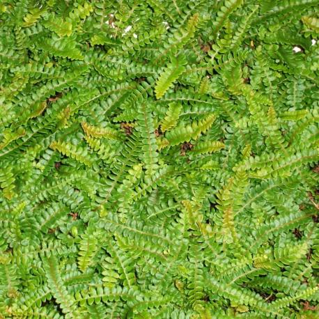 Little Hard-Fern (Austroblechnum penna-marina)