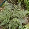 Smooth Shield Fern (Lastreopsis glabella)
