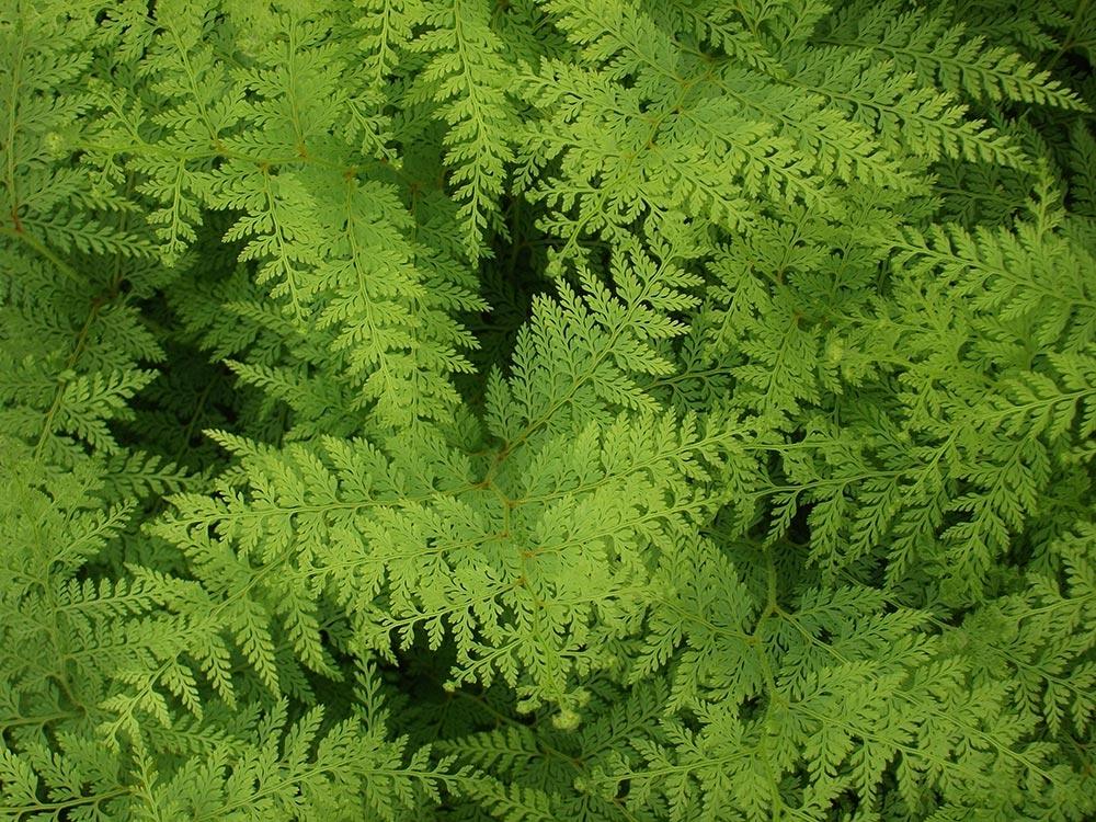 Paesia scaberula fern