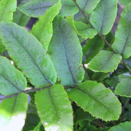 Small Kiokio Fern (Parablechnum procerum)