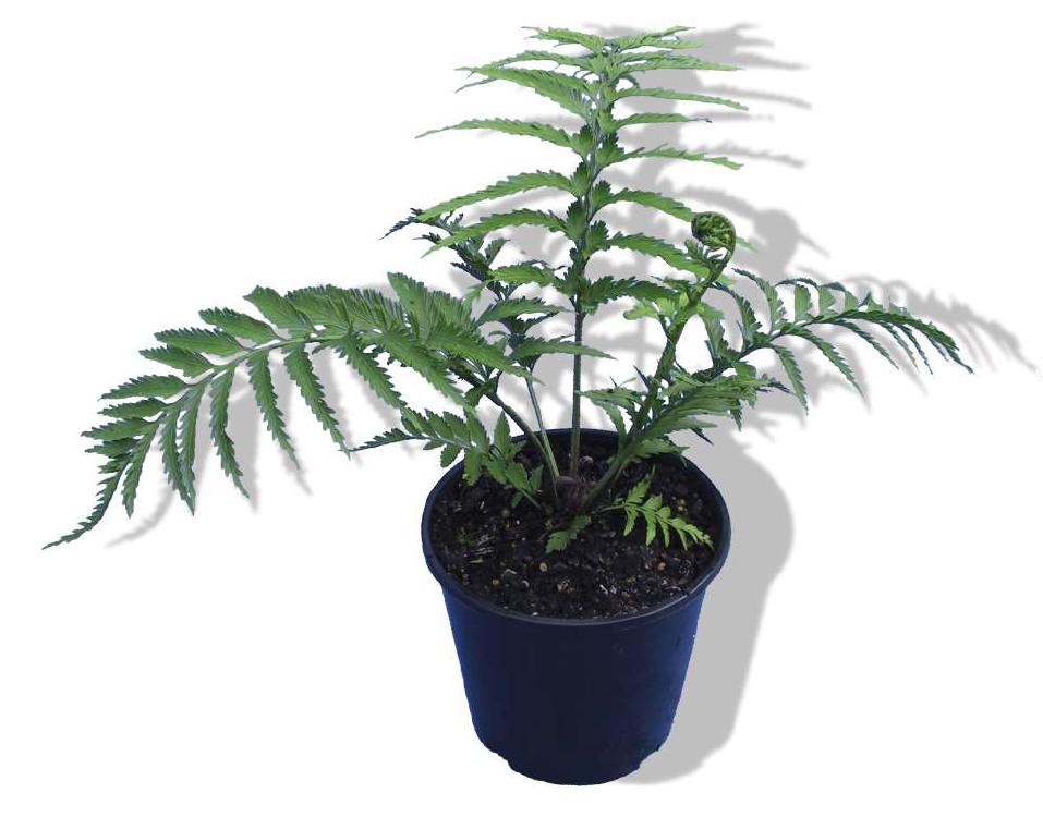 Asplenium oblongifolium native NZ fern