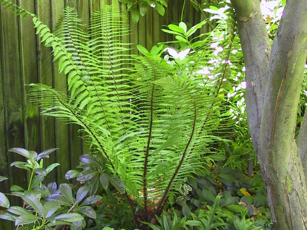 Dry Wallichiana exotic fern