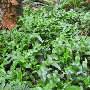 Hounds Tongue - Zealandia pust fern