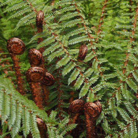 Prickly shield fern - Polystichum vestitum