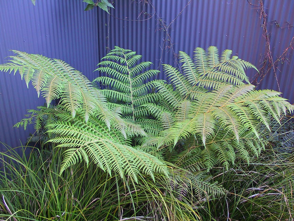 Silver fern ponga - tree fern
